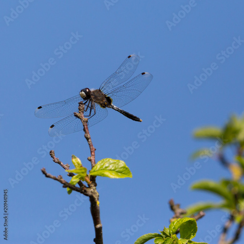 lilypad whiteface (leucorrhinia caudalis) dragonfly sitting on branch