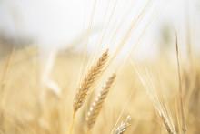 Wheat Beards.Wheat Field Morni...