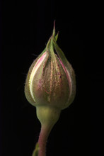 Single White Pink,  Almost Opening,  Beautiful Rosebud Isolated Against Black Background