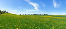 Große, Hügelige, Blühende Wiese Mit Gelbem Löwenzahn