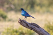 Burchell's starling (Lamprotornis australis) singing on branch
