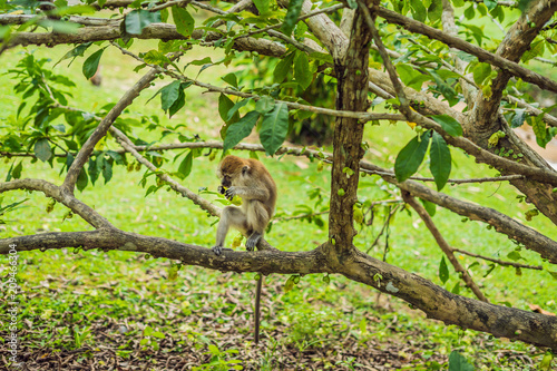 Foto op Canvas Aap Monkey sitting on the tree and eating a mango