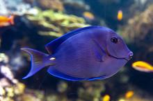Blue Tang (Acanthurus Coeruleu...