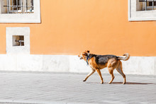 Lost Dog With Collar Walking O...