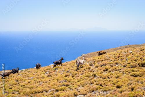 Wild goats on the Greek blue coast roam on a warm summer day in a