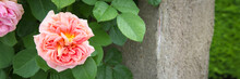 Colorful Web Banner With A Beautiful English Pink Garden Rose