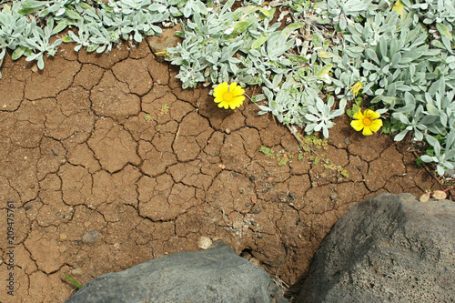 Close up of volcanic ground with creeps with spontaneous branching of succulent plant with yellow flowers