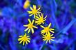 Leinwandbild Motiv Summer background with beautiful yellow flowers on blue background