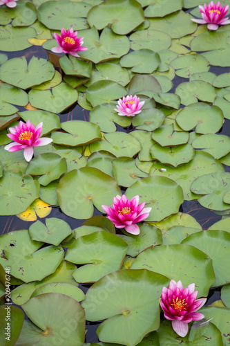 Fotobehang Waterlelies Four blooming pink yellow water lily with lotus leaves