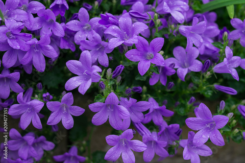 Foto op Canvas Lilac Blue or violet flowers bells in stone pot. Campanula blossom close up.