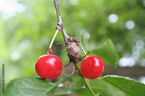 Carta da parati Marmorated stink bug on a sour cherry fruit on tree