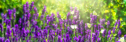 Poster Lavendel schmetterlinge in den lavendelblüten