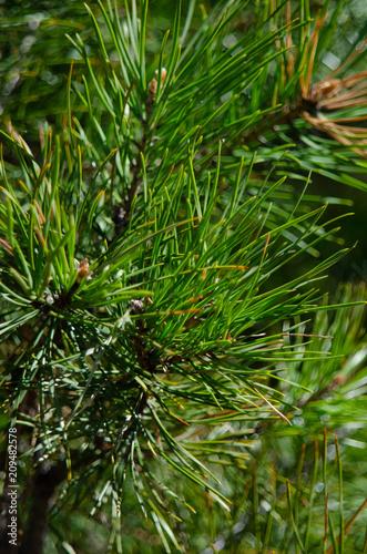 needles of pine close up