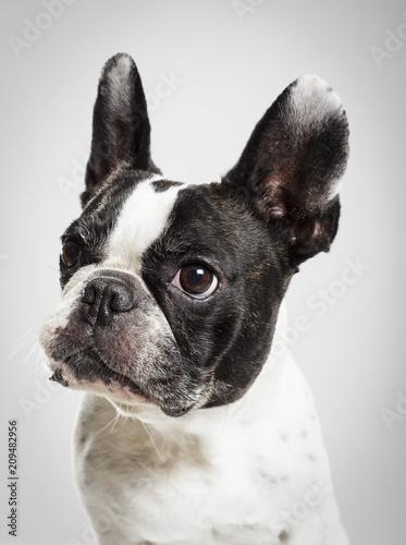 Foto op Plexiglas Franse bulldog Studio portrait of an expressive French Bulldog dog against neutral background