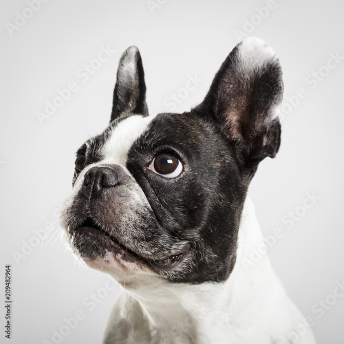 Foto op Plexiglas Franse bulldog Studio portrait of an expressive French Bulldog dog against neutral background