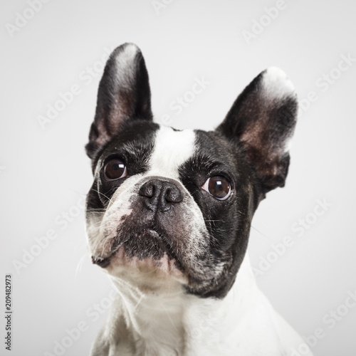Foto op Aluminium Franse bulldog Studio portrait of an expressive French Bulldog dog against neutral background
