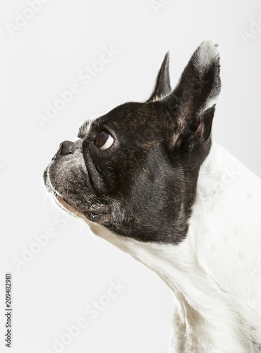 Deurstickers Franse bulldog Studio portrait of an expressive French Bulldog dog against neutral background