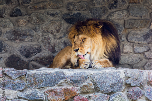 Fotomural A beautiful lion with big mane lies on the rocks and licks his paw