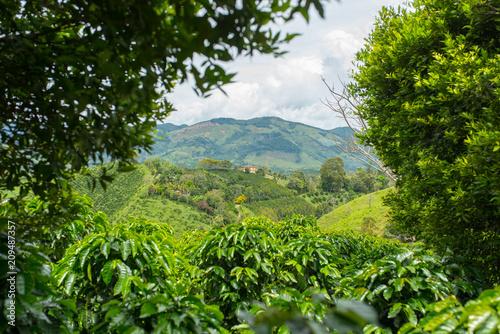 Fotografia Beautiful coffee plantation in Jerico, Colombia in the state of Antioquia