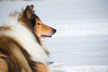 Rough Collie Lying Down In Snow.