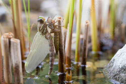 Metamorphosis Of A Southern Hawker Dragonfly