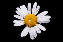 Flower Of Common Daisy In Bloom With Glistening Rain Droplets On Its Petals. Macro Close Up Shot After Rain In Summer Time.
