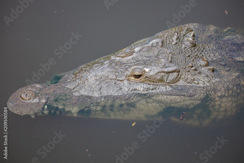 Fotobehang Krokodil nile crocodile is eyeballing you