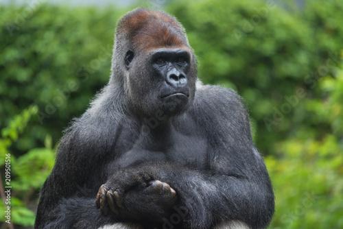 Portrait of a west lowland silverback gorilla