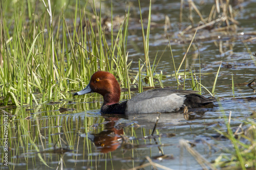 Red headed duck in wetlands.
