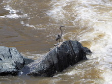 Great Blue Heron On Rock Over ...