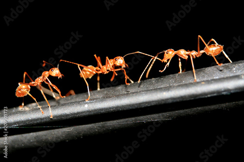 Red Ant Close Up Wallpaper Mural