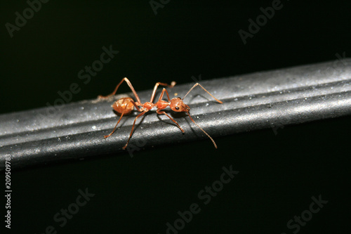 Red Ant Close Up Canvas Print