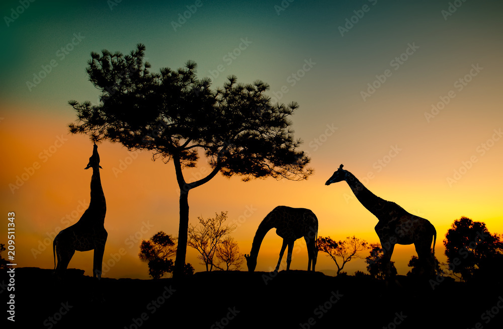 Silhouette Giraffes eats leaves on the hillside at sunset.