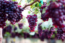 Purple Organic Fruit In Vineyard . Bunch Of Ripe Fresh Grape At Nature Garden To Make Wine Or Juice .