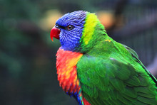 An Adult Rainbow Lorikeet (Trichoglossus Moluccanus) In New South Wales, Australia.