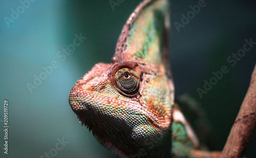 Foto op Plexiglas Kameleon Veiled chameleon (Chamaeleo calyptratus) peeking out of the shade in a dense forest, photographed in Australia.