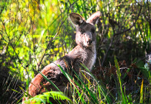 An Adult Eastern Grey Kangaroo (Macropus Giganteus) Among Vegetation In The Jervis Bay National Park, New South Wales, Australia.