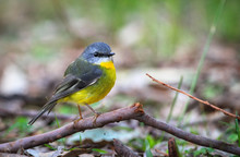 Eastern Yellow Robin (Eopsaltr...
