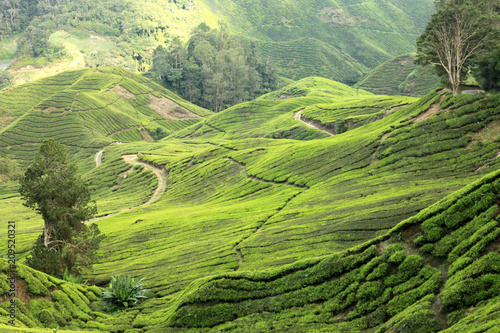 Fototapeta Tea Plantation, Malaysia obraz na płótnie