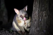 A Common Brushtail Possum (Tri...