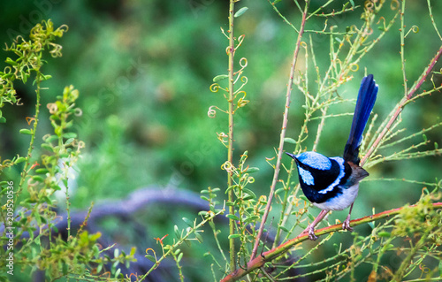Fotografie, Obraz  An adult male superb fairywren (Malurus cyaneus) perched in a shrub in the Yarra Bend Park, Victoria, Australia