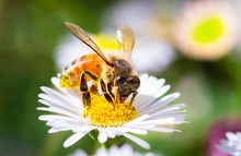 A Honeybee Drinks Nectar And Collects Pollen From A Daisy In Melbourne, Australia.