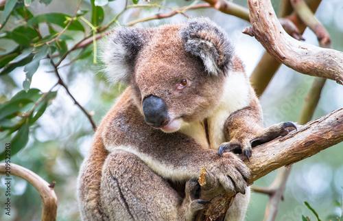 Fotobehang Koala An adult koala (Phascolarctos cinereus) in a eucalyptus tree in the Great Otway National Park, Victoria, Australia.