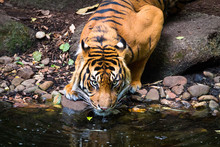 An Adult Sumatran Tiger (Panth...