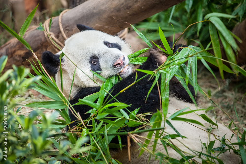 Giant funny panda on his back and eating green bamboo leaf in Zoo
