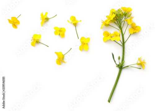 plakat Rapeseed Flowers Isolated on White Background