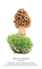 Morel Mushroom On Moss In A Forest Scene, Isolated On White Background