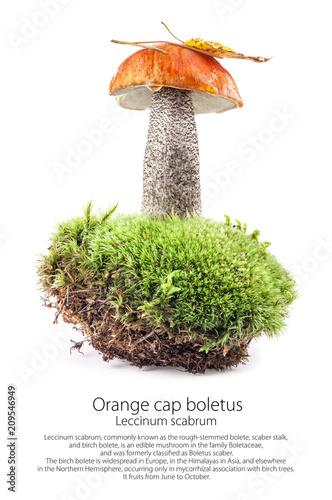 Orange cap boletus (Leccinum scabrum) mushroom on moss isolated on white background