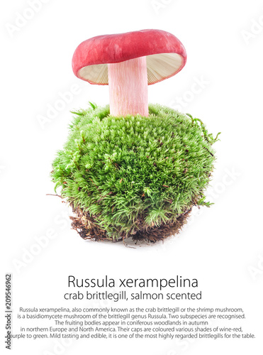 Russula xerampelina (salmon scented) on moss in a forest scene, isolated on whit Wallpaper Mural