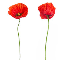 Wild Red Poppies In A Row Isol...